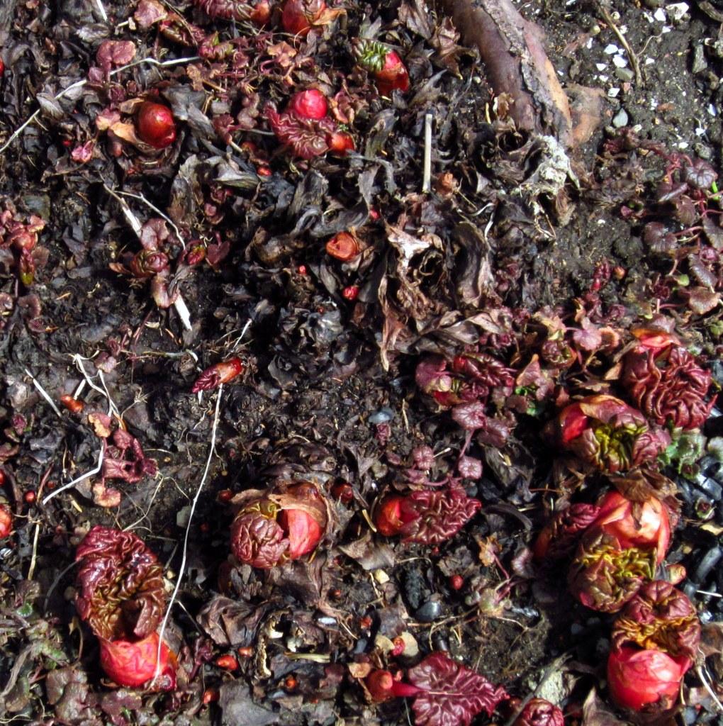 rhubarb2
