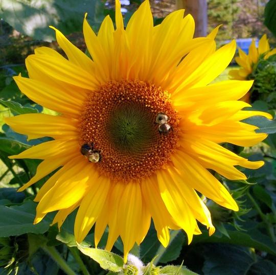 garden-sunflower