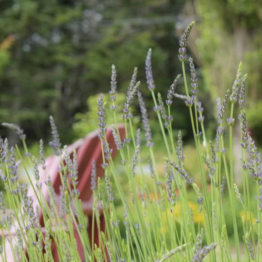 lavendar-sanctuary