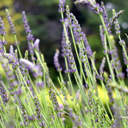 lavendar_iced_tea