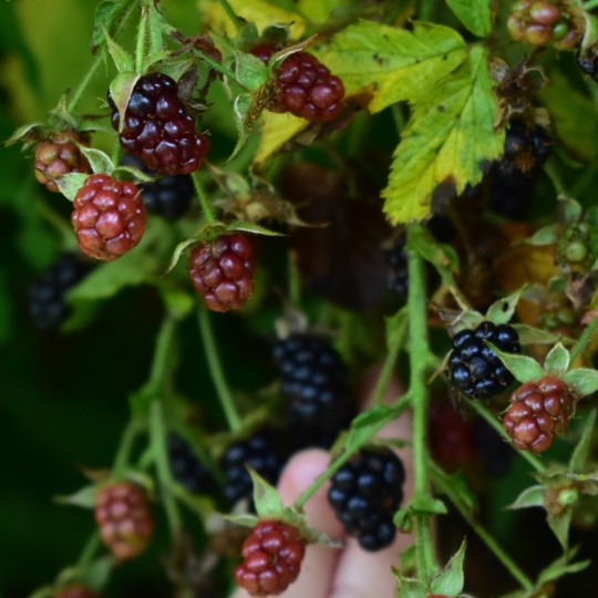 foraging for wild blackeberries in late summer