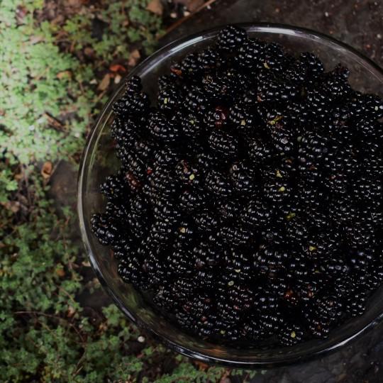 nova scotia foraged blackberries