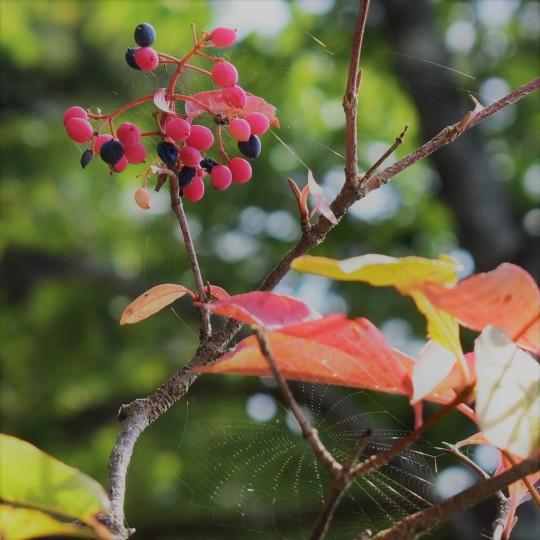 nova scotia wild raisin
