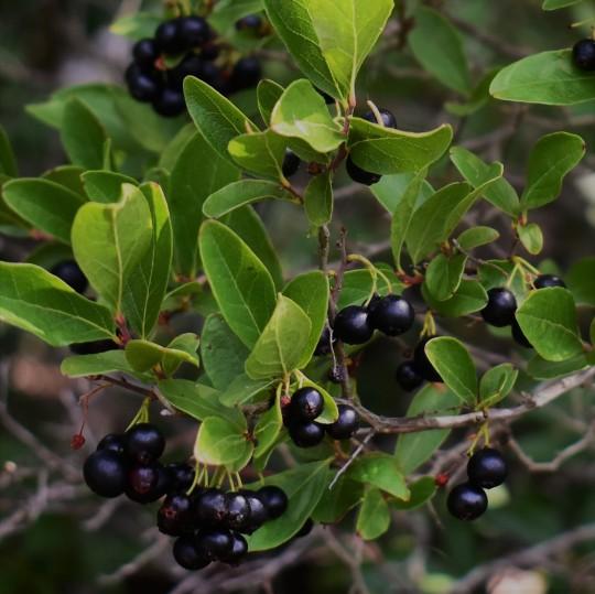 nova scotia huckleberry