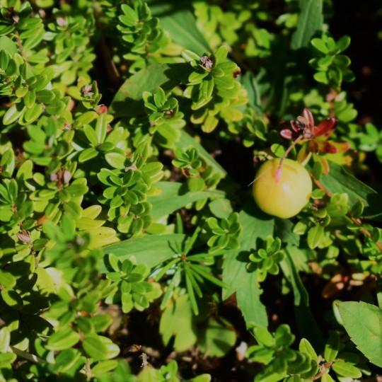low bush cranberry foraging nova scotia