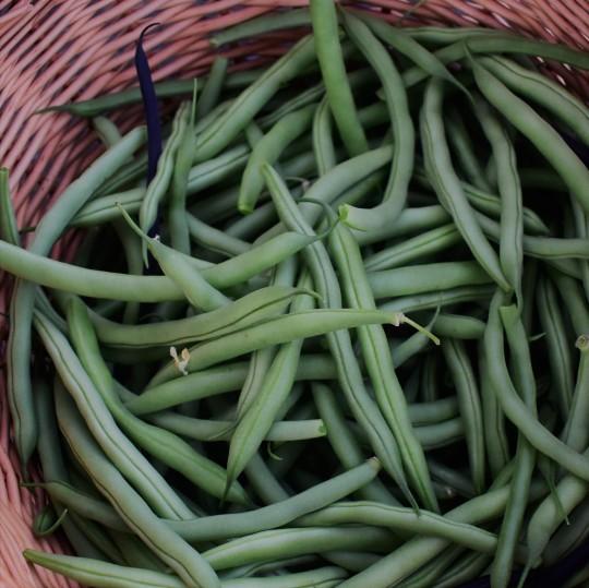abundant bean harvest