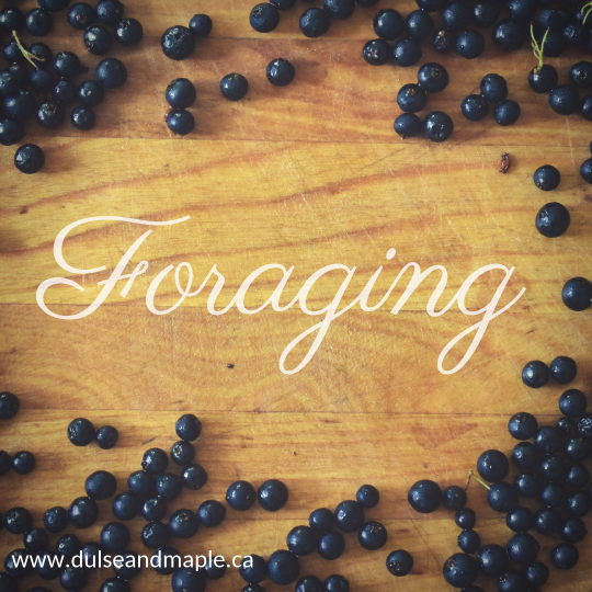foraging for huckleberries in late summer